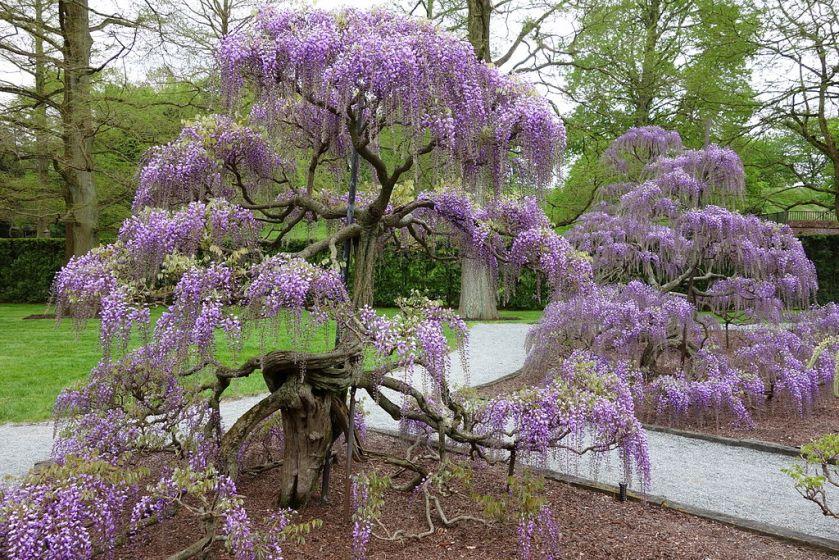 1024px-Wisteria_-_Longwood_Gardens_-_DSC01006